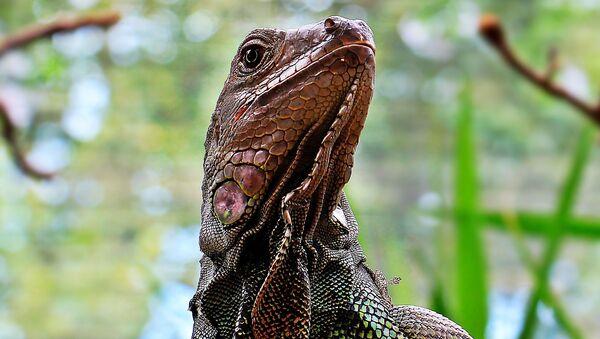 Giant lizard spotted in Delhi - Sputnik International