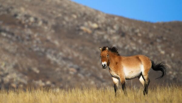 Przewalski's horse in Hustai National Park in Mongolia - Sputnik International