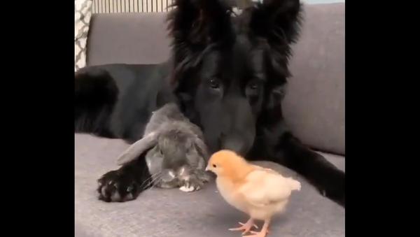 Dog, rabbit, and chicken - Sputnik International