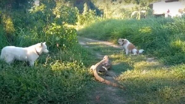 Lizard Defends Itself From Dogs  - Sputnik International