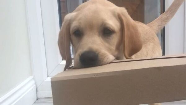 Labrador Retriever Pup Helps Fetching Parcel - Sputnik International