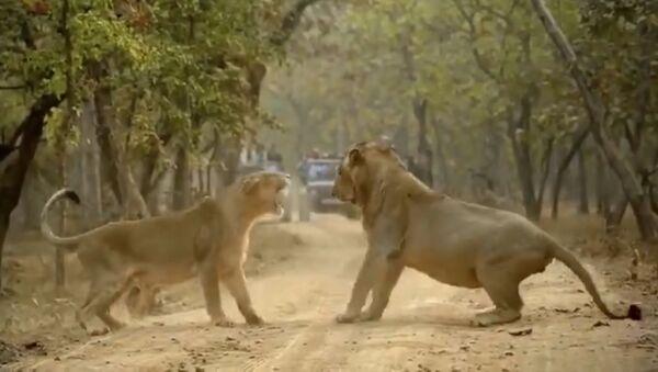 Couple fight between lions caught on camera - Sputnik International