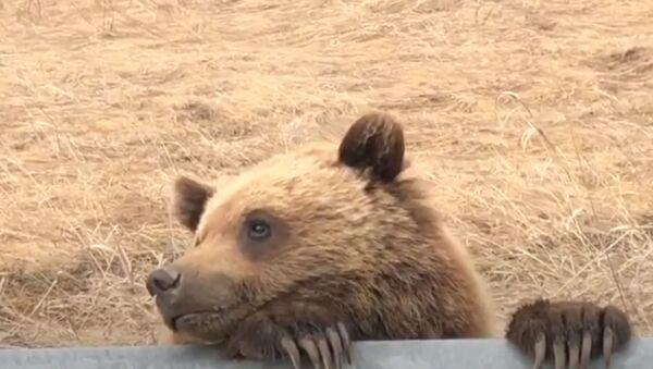 Grizzlies Just Wanna Have Fun: Bear Loves Posing for Camera  - Sputnik International