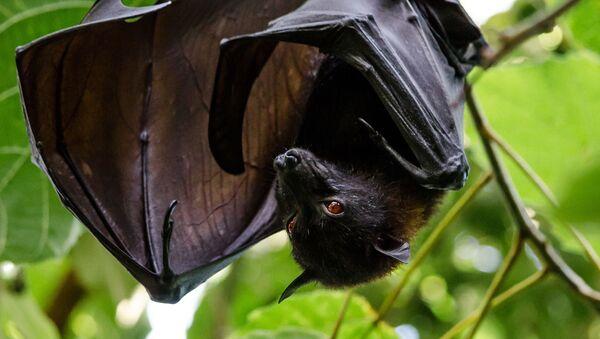 Black Fruit Bat - Sputnik International