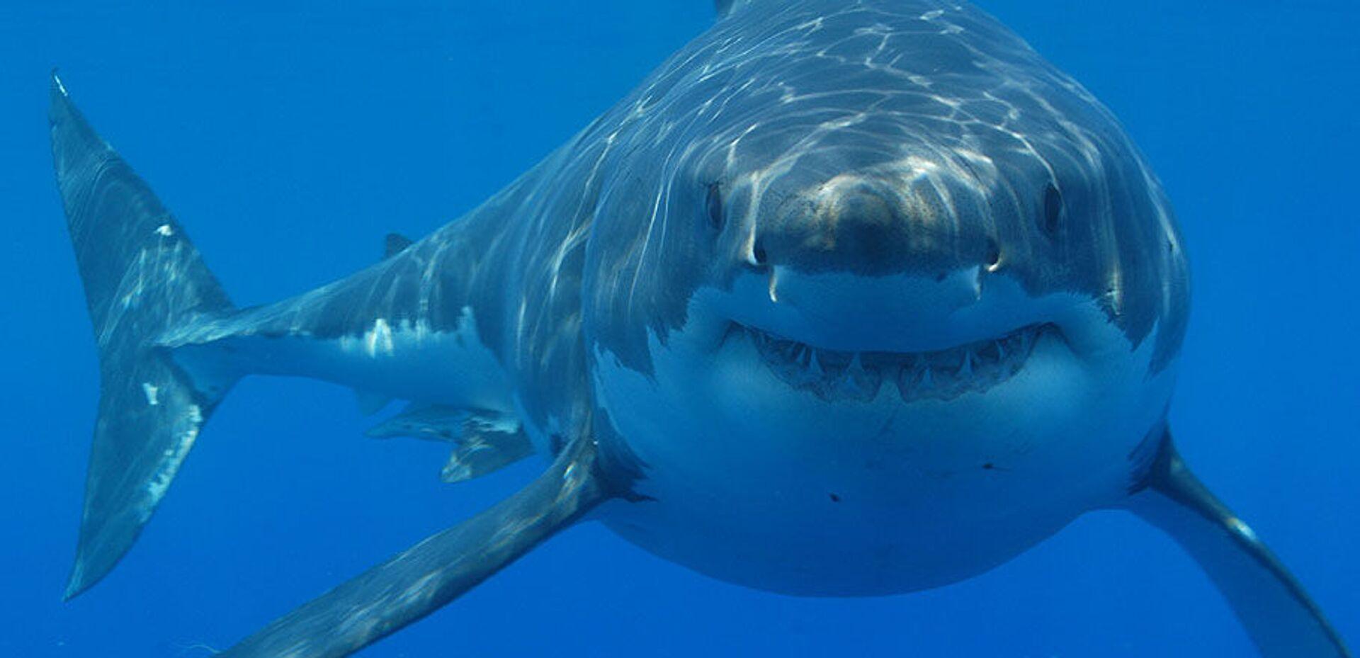 Great white shark - Sputnik International, 1920, 23.07.2021