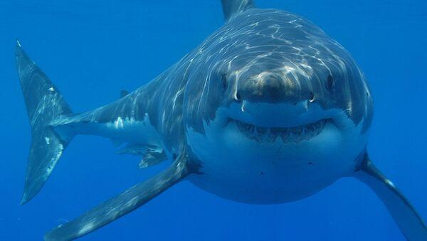 Great white shark - Sputnik International