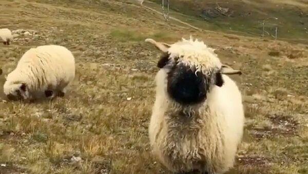 Sheep - Sputnik International