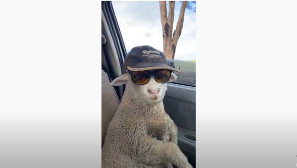 Cool Rider: Lax Lamb Hitches Ride in Australia  - Sputnik International