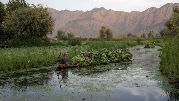 Kashmiri women row their shikara filled with fodder for cattle in the interiors of the Dal lake in Srinagar, Indian controlled Kashmir, Friday, Aug. 7, 2020 - Sputnik International