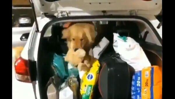 Golden Retriever Makes Daring Rescue to Save Friend - Sputnik International