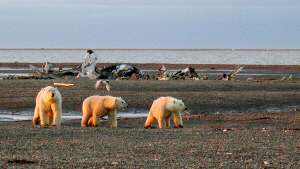 FILE PHOTO: Three polar bears are seen on the Beaufort Sea coast within the 1002 Area of the Arctic National Wildlife Refuge in this undated handout photo provided by the U.S. Fish and Wildlife Service Alaska Image Library on December 21, 2005. U.S. Fish and Wildlife Service Alaska Image Library/Handout via REUTERS  ATTENTION EDITORS - THIS IMAGE WAS PROVIDED BY A THIRD PARTY. EDITORIAL USE ONLY/File Photo - Sputnik International