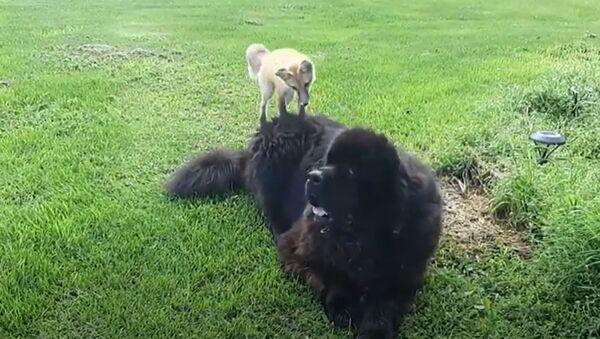 Fox and The Hound: Two Unlikely Friends Frolic in Open Field  - Sputnik International