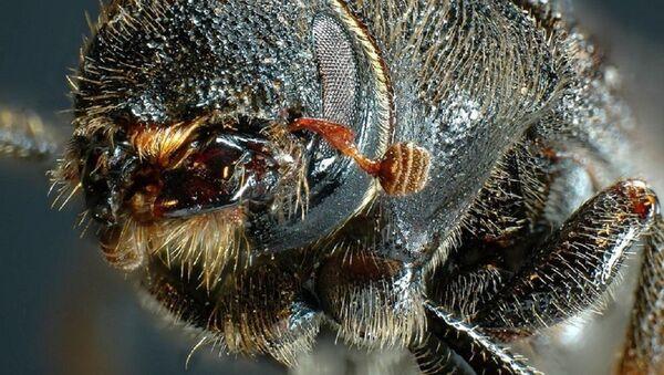 Mountain Pine Beetle - Sputnik International