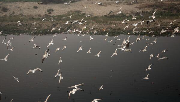 When Seagulls Take a Flight Over Polluted Water of Yamuna - Sputnik International