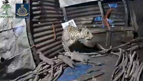 Female leopard gives birth to 4 cubs inside a hut in Nashik, Maharashtra - Sputnik International