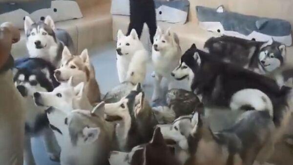Husky Heaven: Furballs Have Fun at Dog Cafe  - Sputnik International