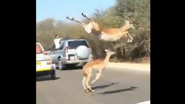 Look what comes to the aid of the impalas at the end, while escaping from the claws of the cheetahs - Sputnik International