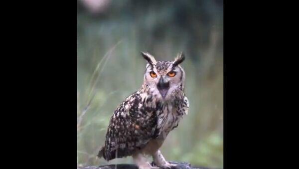 Indian Eagle Owl - Sputnik International