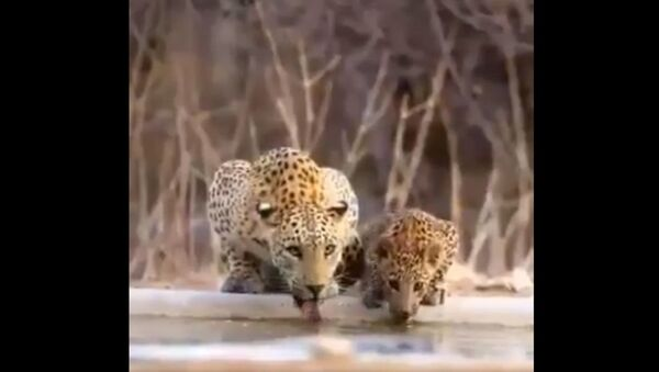 Mamma leopard with cubs.. - Sputnik International