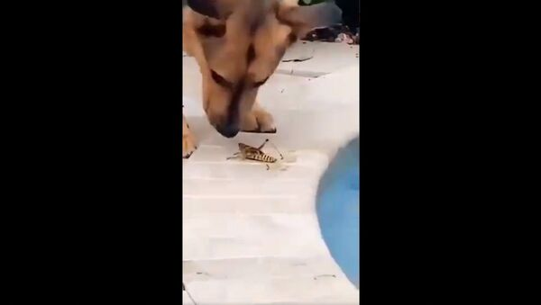 Grasshopper saved from drowning - Sputnik International