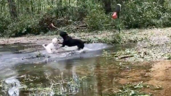 Playful Pups Make the Most of Hurricane-Flooded Front Yard - Sputnik International
