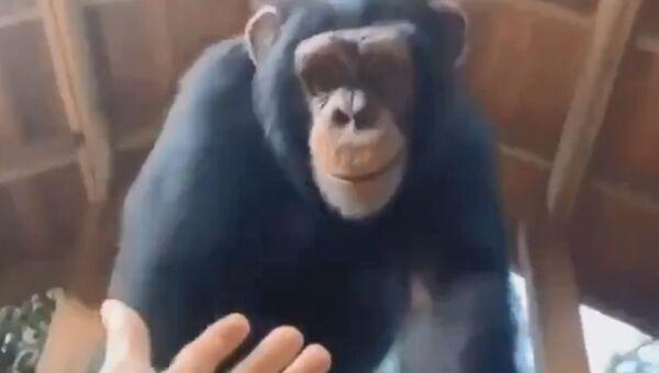 Teamwork Makes the Dream Work: Smart Ape Helps Human Friend - Sputnik International