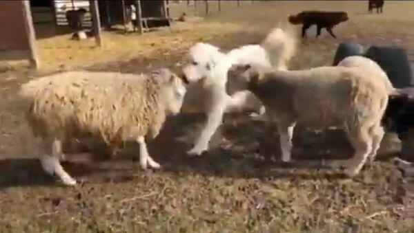 Good Bois Make Peace: Doggo Break Up Fight Between Sheeps - Sputnik International