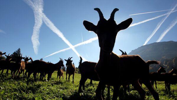 Goats - Sputnik International