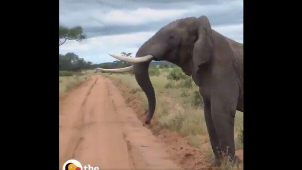 A massive Elephant  breaking up an Ostrich fight !! - Sputnik International
