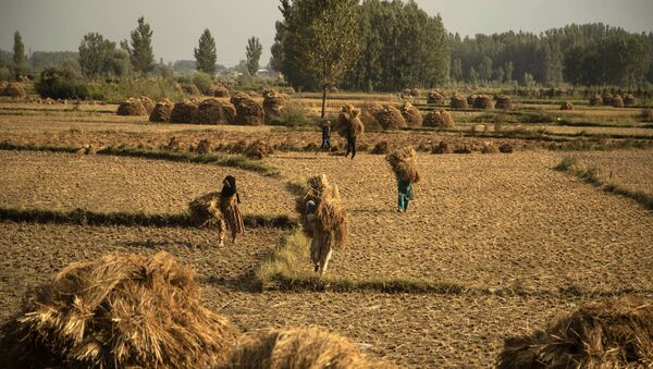 Kashmiri farmers carry paddy after a harvest on the outskirts of Srinagar, Jammu and Kashmir UT, 13 September 2020. Apart from tourism, agriculture is the main source of income and employment in the Kashmir Valley.  - Sputnik International