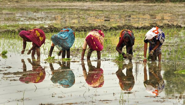 Indian female farmers sow paddy in a field on the outskirts of Allahabad, India, Saturday, June 25, 2011 - Sputnik International