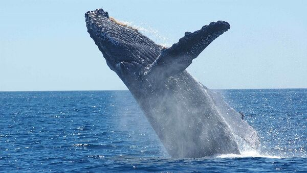 Blue whale - Sputnik International
