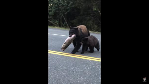 Bear Struts Across Roadway With Her Catch of the Day - Sputnik International