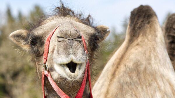 Camel - Sputnik International