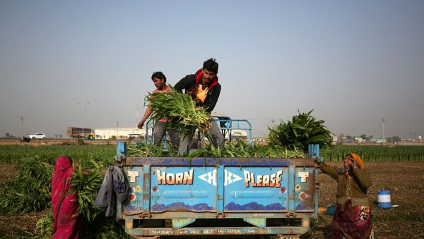 Farm workers load harvested maize crop onto a tractor trolley in a field on the outskirts of Ahmedabad, India, February 1, 2019.  - Sputnik International