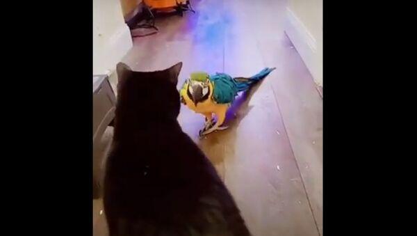 A parrot attacks a cat - Sputnik International