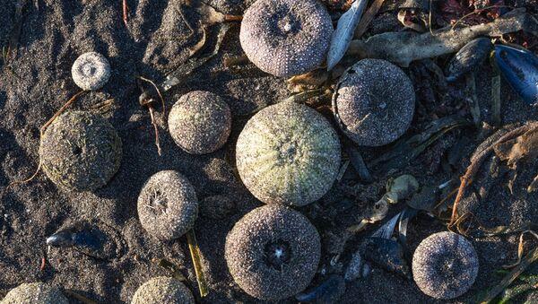 Sea urchins thrown ashore in Avacha Bay. - Sputnik International