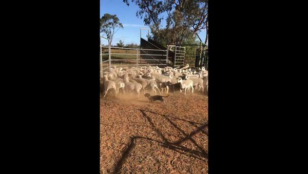 Mighty Mini Dachshund Rounds Up Herd of Aussie Sheep - Sputnik International