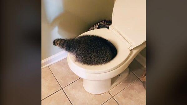 Curious Raccoon Undertakes Deep Toilet Bowl Inspection - Sputnik International