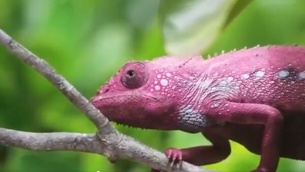 The way a chameleon changes its colours is one of the most fascinating phenomena in the world - Sputnik International