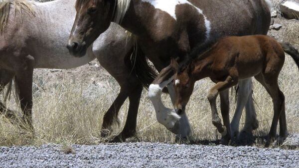 In this June, 2015, file photo, free-roaming horses owned by the state of Nevada walk along the USA Parkway at the Tahoe Reno Industrial Center, east of Sparks near Mustang, Nev. - Sputnik International