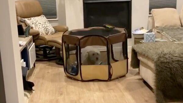 Spunky Goldendoodle Moves Playpen by Hopping - Sputnik International