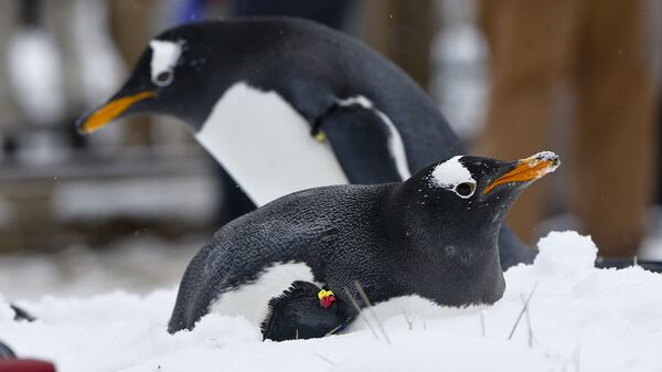 A Gentoo penguins in the snow at the Pittsburgh Zoo and PPG Aquarium during a media availability in an outdoors area on Wednesday, Feb. 10, 2016, in Pittsburgh. (AP Photo/Keith Srakocic) - Sputnik International