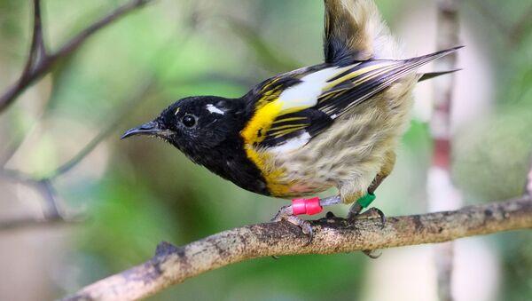 Male hihi (stitchbird) flicking up its tail feathers - Sputnik International