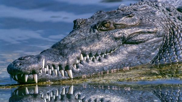alligator, gator  - Sputnik International