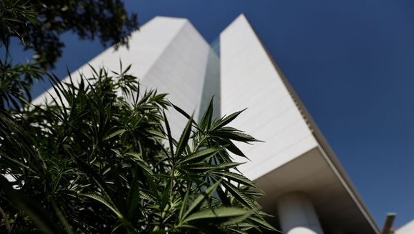 Marijuana leaves are seen next to Mexico's Senate building  at the protest cannabis garden of the Cannabico Mexican Movement in Mexico City, Mexico November 19, 2020 - Sputnik International