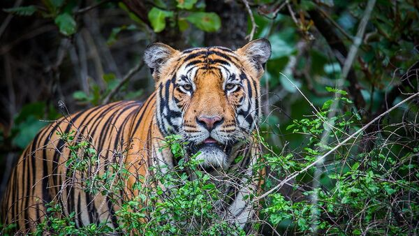 Royal Bengal Tiger - Sputnik International