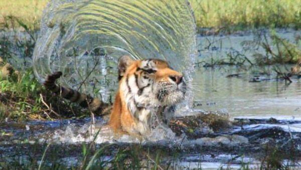 tiger - Sputnik International