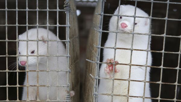 In this Dec. 6, 2012, file photo, minks look out of a cage at a fur farm in the village of Litusovo, northeast of Minsk, Belarus - Sputnik International