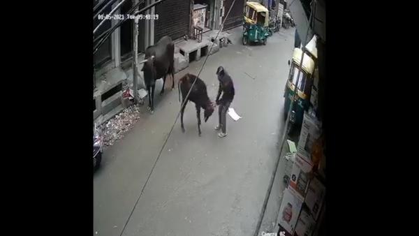 man beats calf - Sputnik International